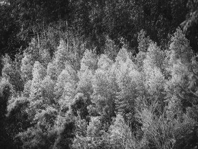 floresta de eucaliptos_em
