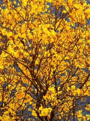 ipê amarelo_em