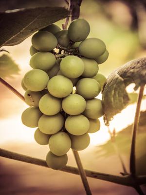 cacho de uvas_em