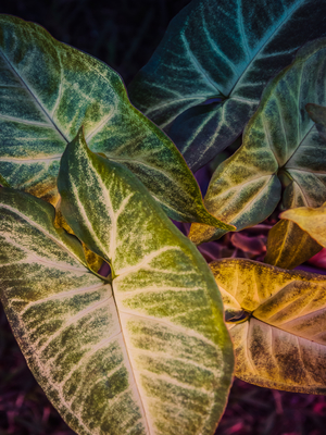 grandes folhas