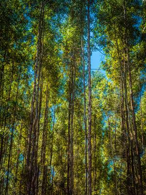 floresta de eucaliptos_3