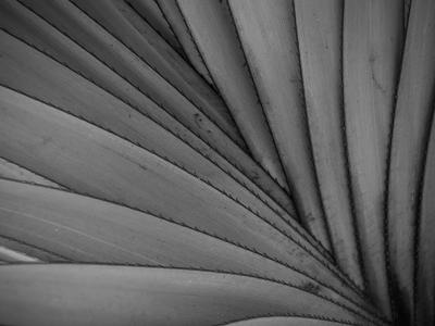 folha de palmeira p&b