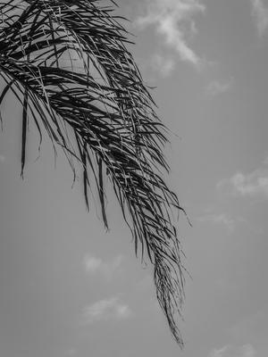 folhas de palmeira_em