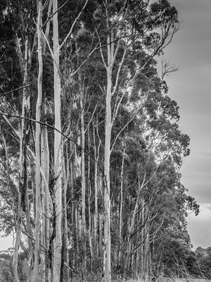 fileira de eucaliptos