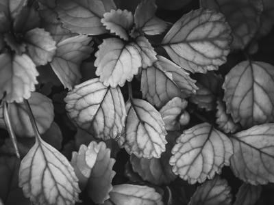 pequenas folhas p&b