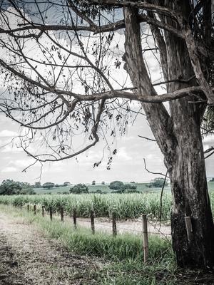 velha árvore e cerca