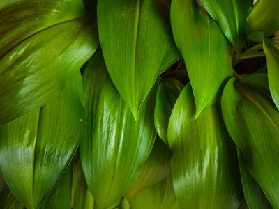 folhas de lirio