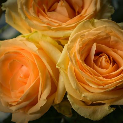 três rosas