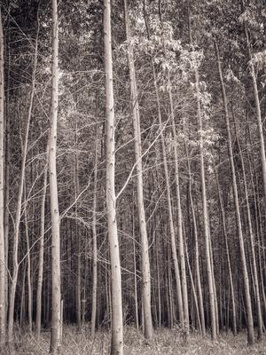 floresta de eucaliptos_4
