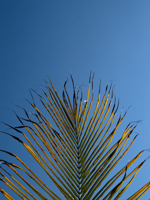 folha de palmeira_em