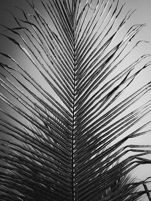 folha de palmeira_em p&b
