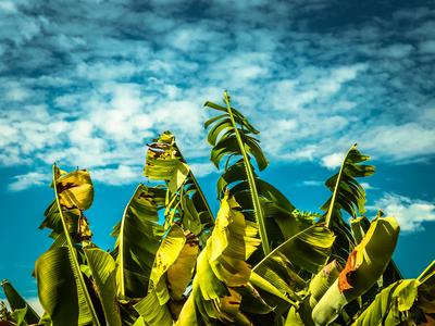 folhas de bananal