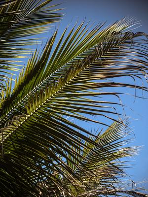 copa de palmeira
