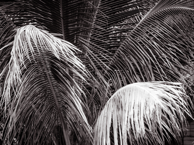 folhagem de coqueiro p&b