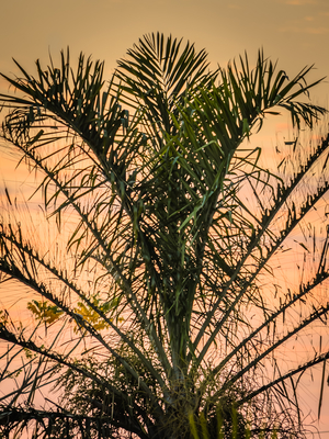 palmeira ao por do sol_2