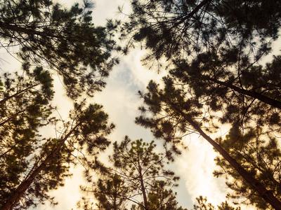 eucaliptos dourados