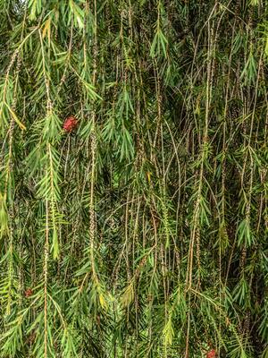 cortina de folhas_em