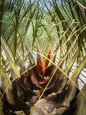 copa de palmeira_2