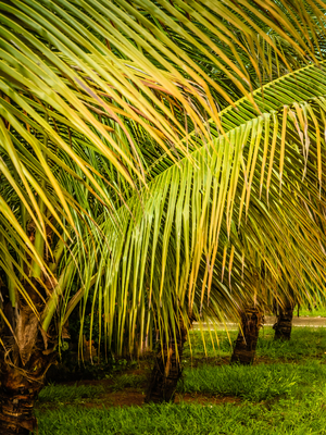 palmeiras em fila