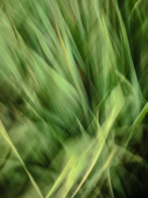 erva cidreira ao vento