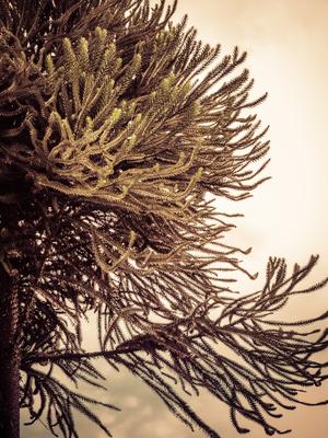 pinheiro ao amanher