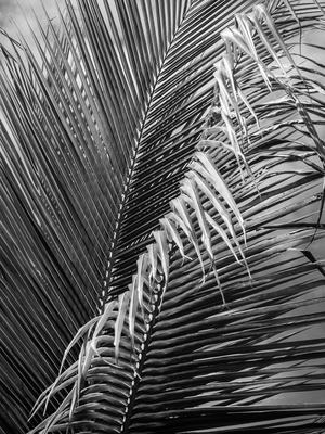 folhagem de palmeira p&b