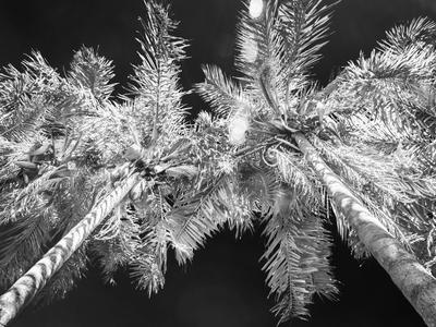 duas palmeiras infrared