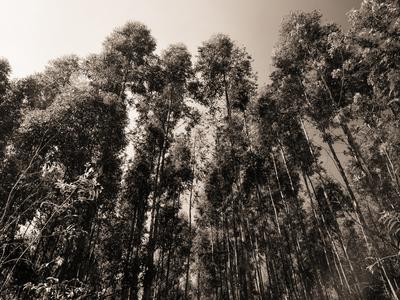 floresta de eucaliptos_9