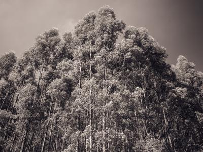 floresta de eucaliptos_10