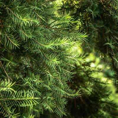 floresta de pinheiros_em