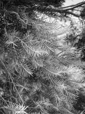 pinheiro p&b