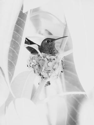 beija flor no ninho
