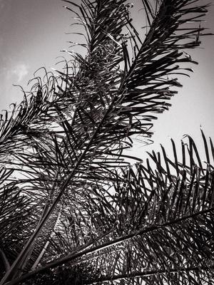 copa de palmeira p&b_2