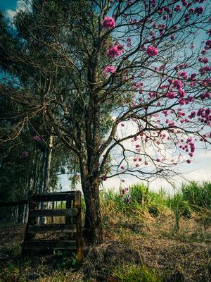 cerca e paineira rosa
