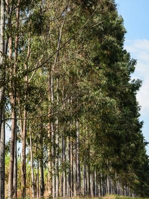 eucaliptos em fila