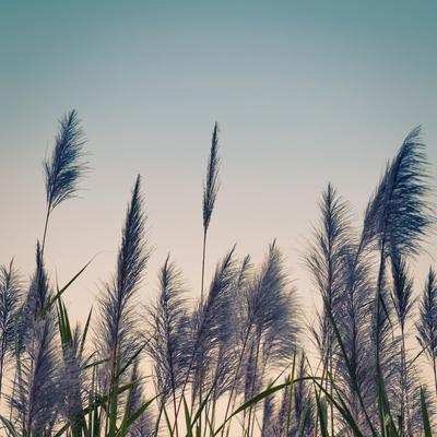 plumas azuis