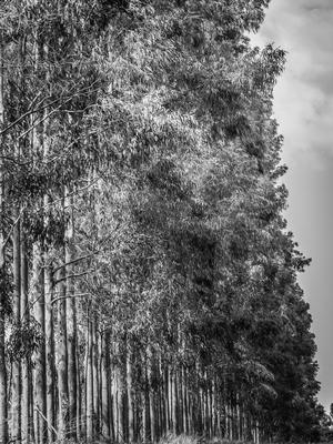 eucaliptos em fila p&b