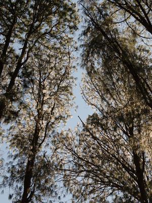 folhas de prata