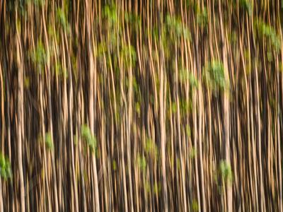 floresta de eucaliptos_11