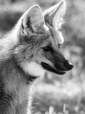 jovem lobo guará