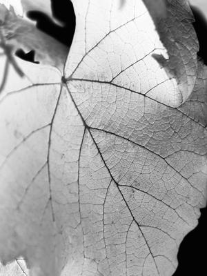 folha branca de uva