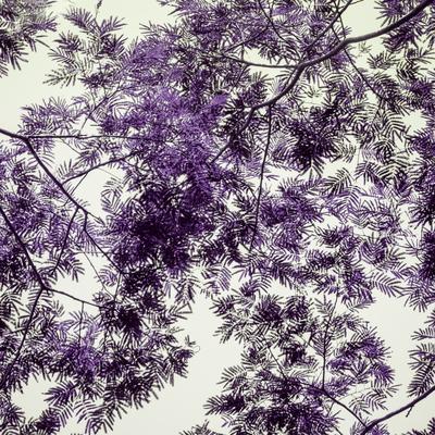 copa purpura