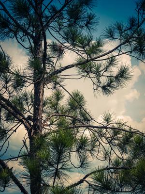 copa de pinheiro e nuvens