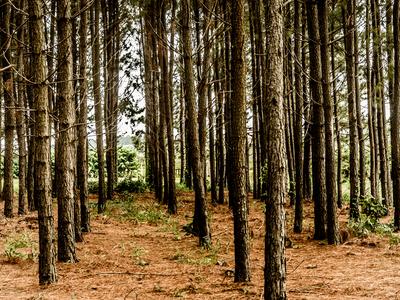 floresta de eucaliptos_12