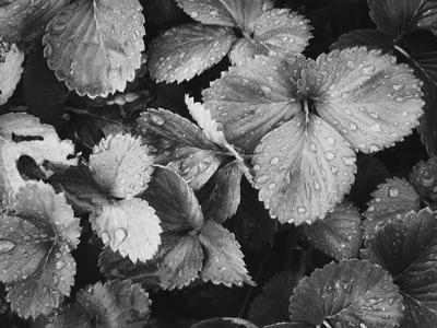 folhas de morango