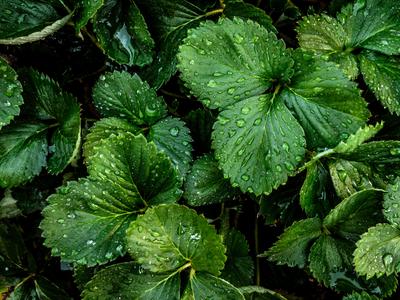 folhas de morango_2
