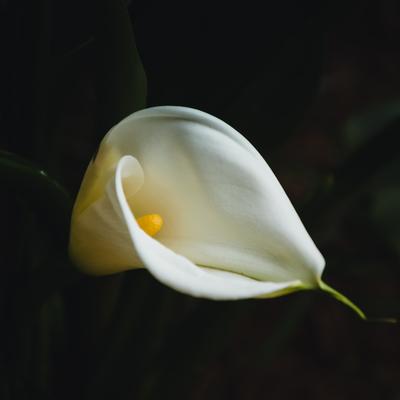 flor copo de leite