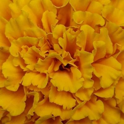 Alma Amarela