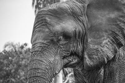 elefante faces