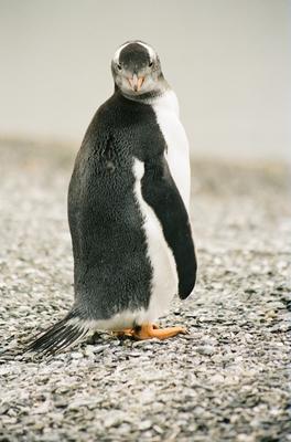 Pinguim Papua